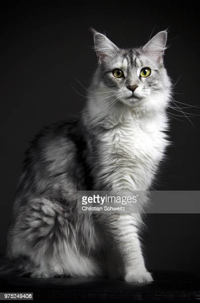 a gray maine coon cat. - purebred cat stock pictures, royalty-free photos & images