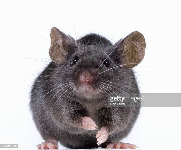 gray mouse (mus musculus) - field mouse stock photos and pictures