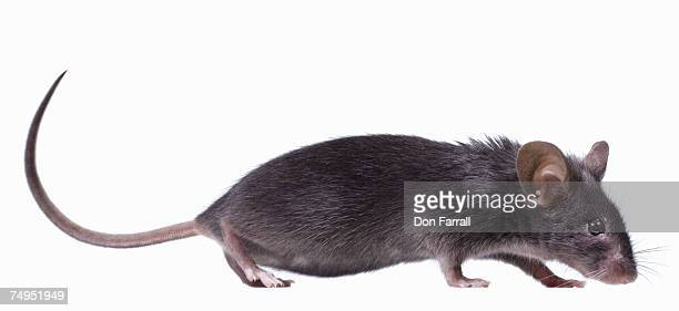 gray mouse (mus musculus), side view - field mouse stock pictures, royalty-free photos & images