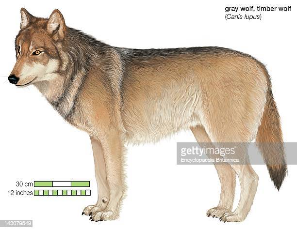 Gray Or Timber Wolf