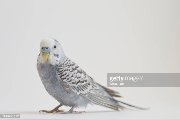 gray parakeet - male animal stock photos and pictures