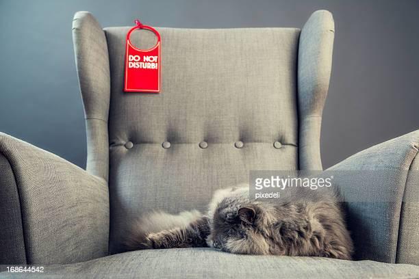Gray persische Katze auf Sessel