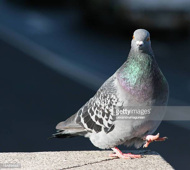 A gray pigeon standing on the edge