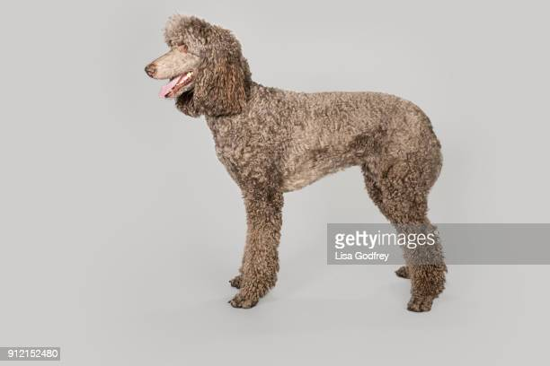 gray poodle on gray - standard poodle stock photos and pictures