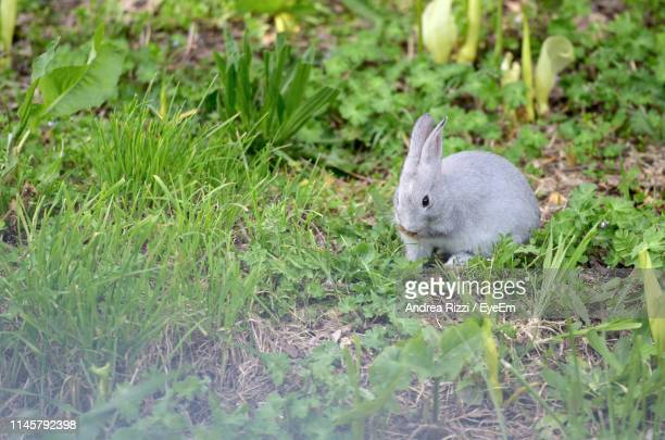gray rabbit by plants on land - andrea rizzi stock pictures, royalty-free photos & images