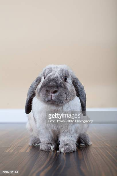 A Gray Rabbit Sitting on a Wooden Floor