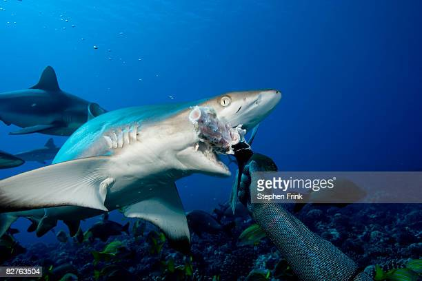 gray reef shark attacking bait - animals attacking stock pictures, royalty-free photos & images