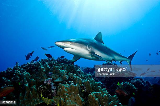 gray reef shark (carcharhinus amblyrhynchos) - invertebrate stock pictures, royalty-free photos & images