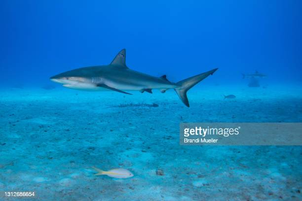 gray reef shark underwater in the bahamas - reef shark stock pictures, royalty-free photos & images