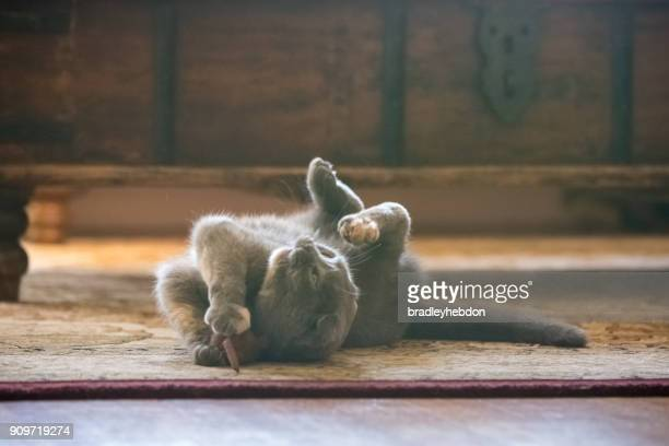 Gray Scottish Fold cat playing with toy mouse in living room