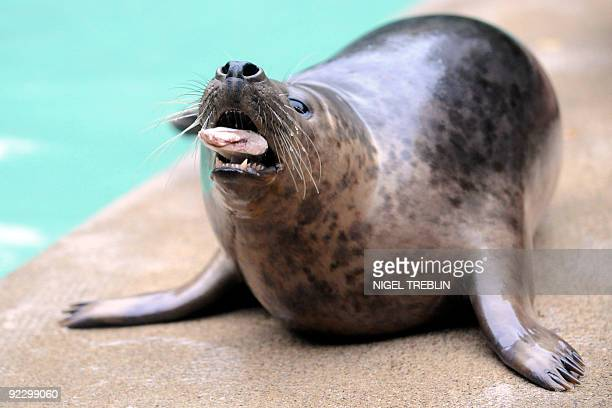 Gray seal 'Alf' eats a fish in the zoo in Hanover northern Germany on October 23 2009 The two new arrivals Lynn and Alf will be moved in 2010 with...