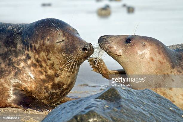 Gray Seal -Halichoerus grypus-, male and female, Helgoland, Schleswig-Holstein, Germany