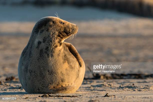 gray seal (halichoerus grypus), lying on the beach, heligoland, schleswig-holstein, germany - schleswig holstein stock pictures, royalty-free photos & images