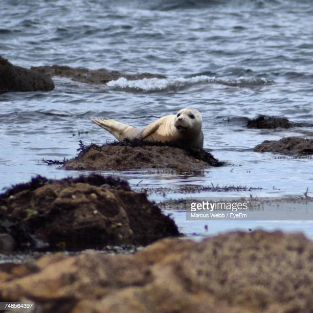 Gray Seal On Rocks At Shore
