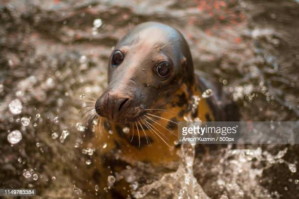 gray seal - süßwasser stock-fotos und bilder