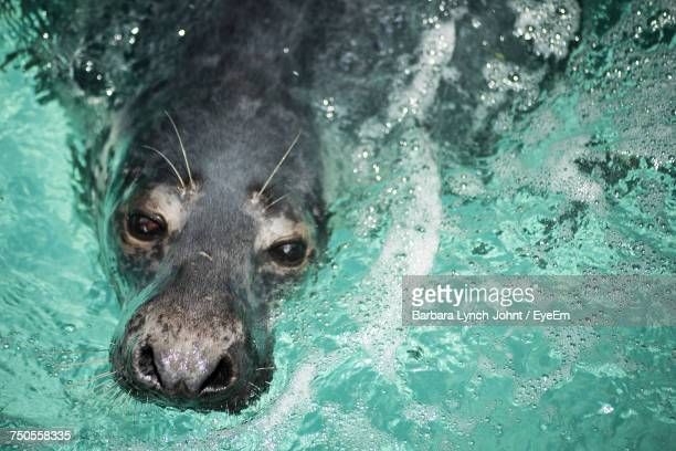 Gray Seal Swimming
