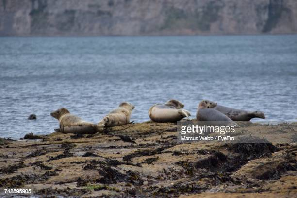 Gray Seals On Rocks At Shore