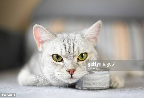 gray shorthair cat and food can