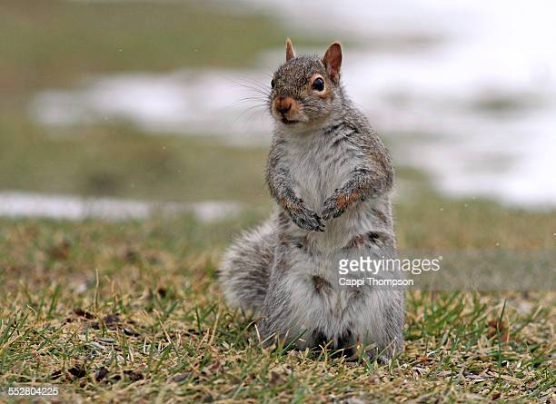 gray squirrel been nursing - eastern gray squirrel stock photos and pictures