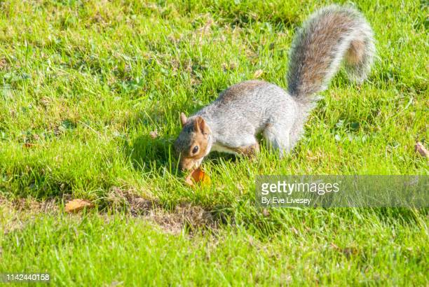 gray squirrel burying acorns - burying stock pictures, royalty-free photos & images