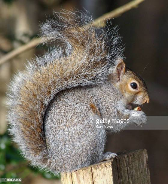 gray squirrel bushy tail sitting eating nut - squirrel stock pictures, royalty-free photos & images