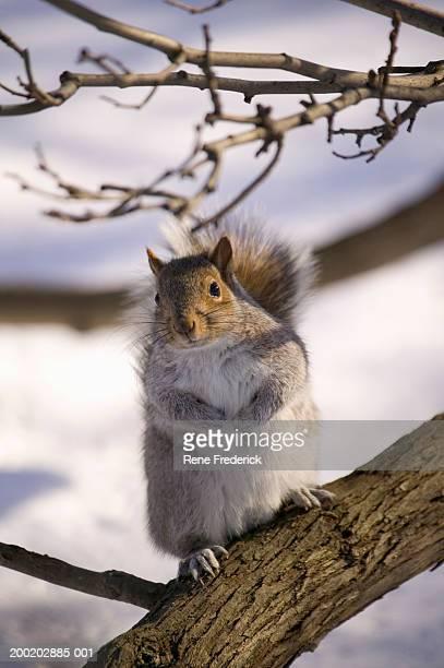Gray squirrel (Sciurus carolinensis) in tree, winter