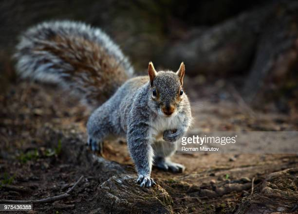 gray squirrel (sciurus carolinensis) looking at camera - eastern gray squirrel stock photos and pictures