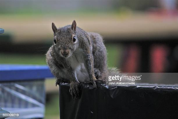 Gray squirrel on a garbage can