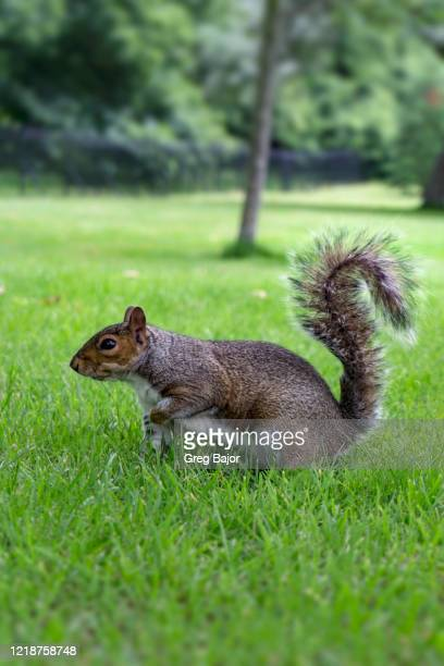gray squirrel - greg bajor stock pictures, royalty-free photos & images