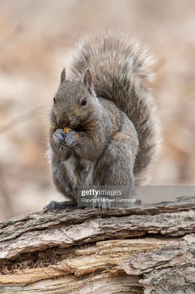 Gray Squirrel : Stock Photo