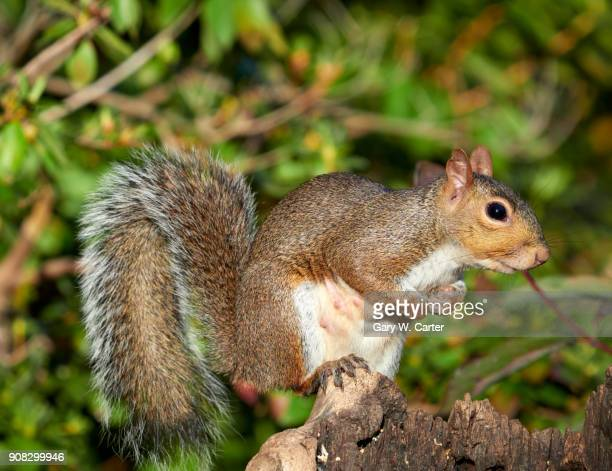 gray squirrel - gray squirrel stock photos and pictures
