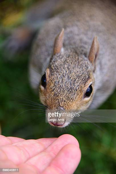 Gray squirrel sniffing a man's hand