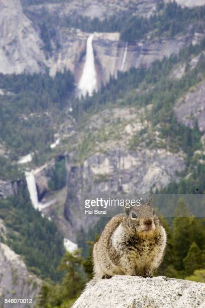 Gray Squirrel with waterfalls in the background