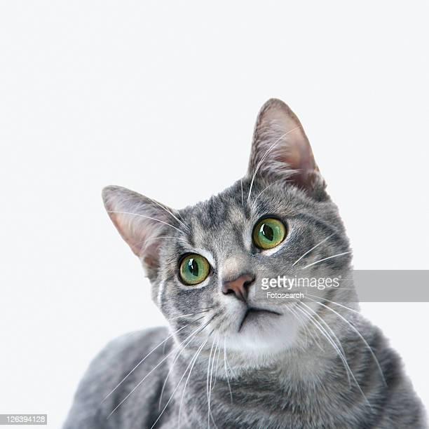 gray striped cat. - gatto soriano foto e immagini stock