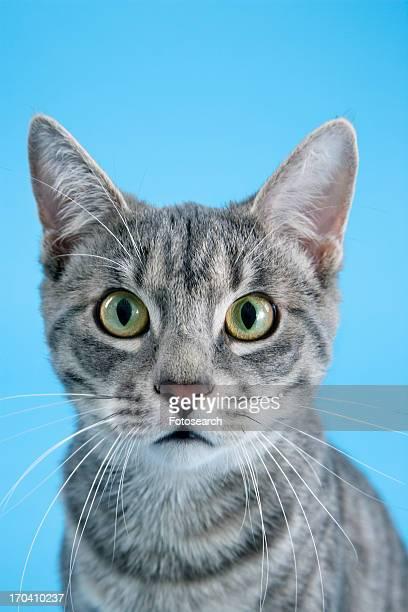 Gray striped cat