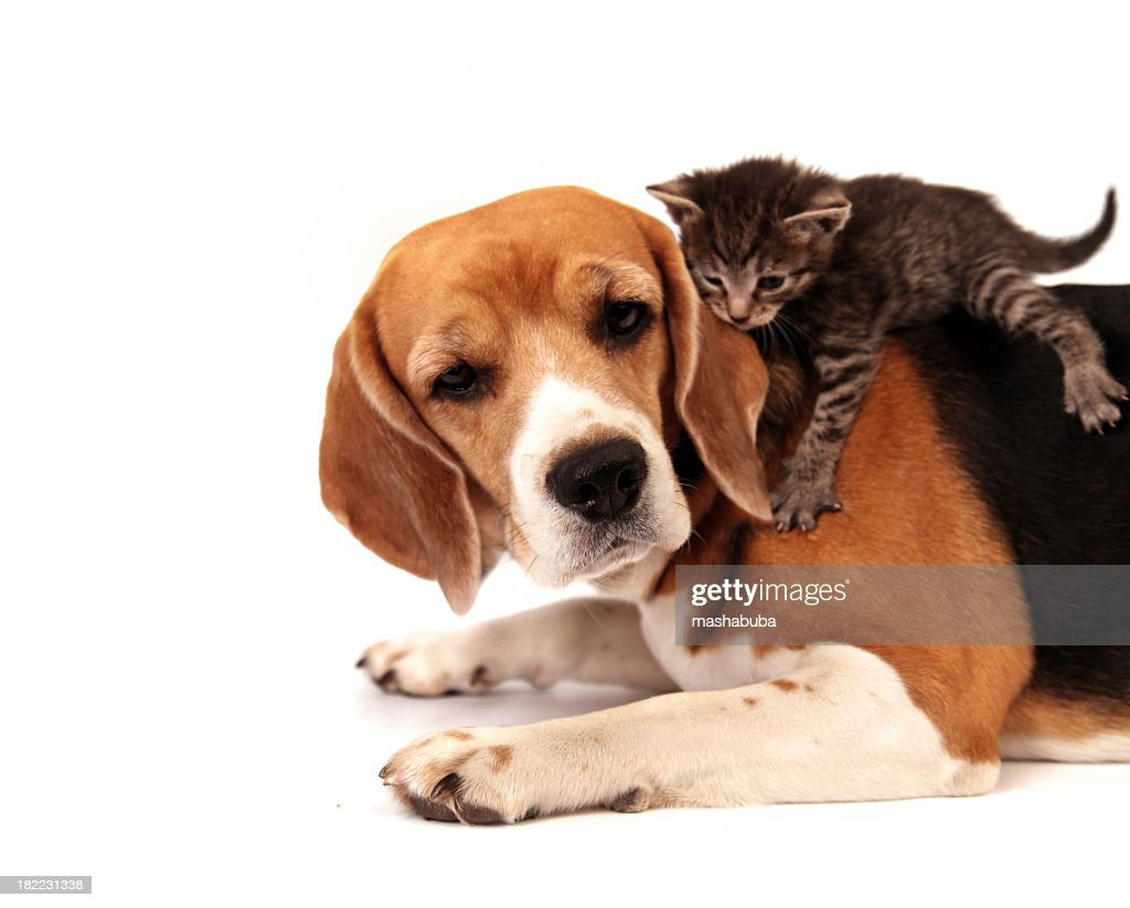 A gray striped kitten laying on the back of a dog : Stock Photo