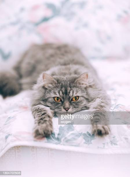 gray stripped cat is sleeping on the floral pattern carpet - friendly match stock pictures, royalty-free photos & images