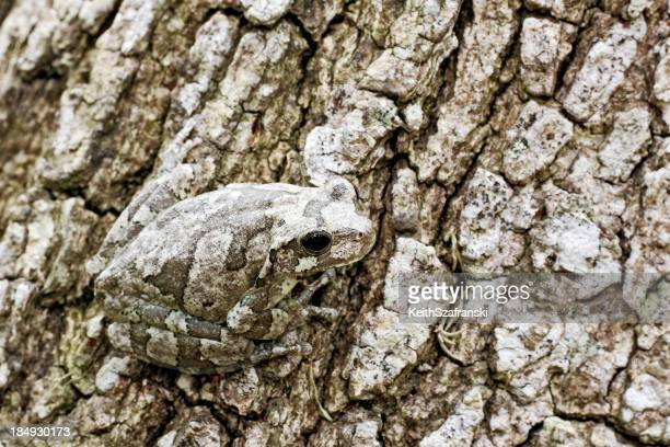 Gray Tree Frog on Bark