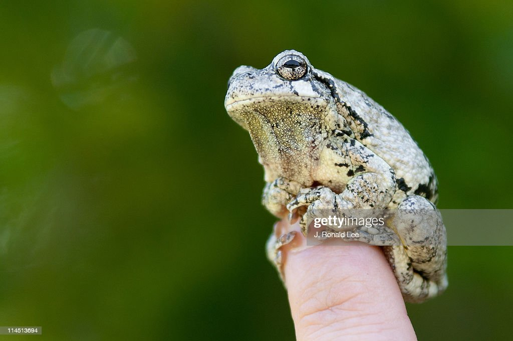 Gray tree frog (hyla versicolor) : Stock Photo