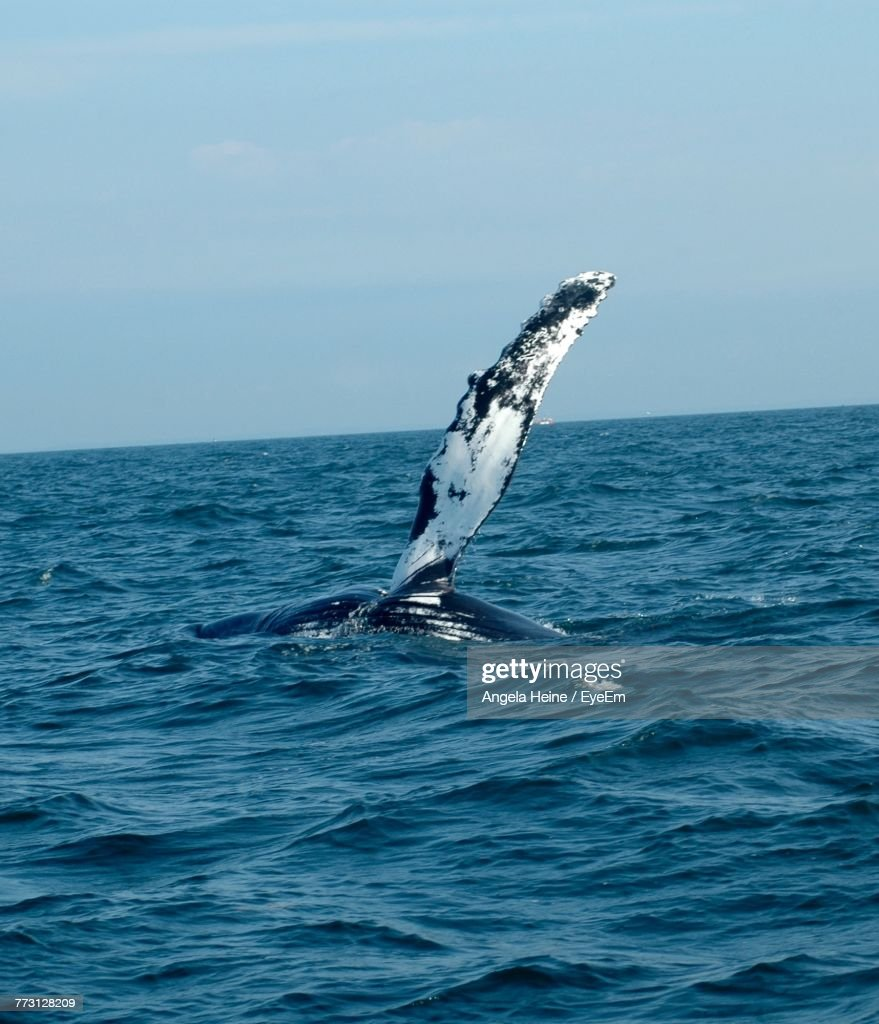 Gray Whale Breaching In Sea Against Sky : Photo