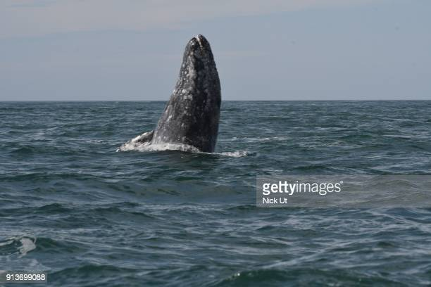 Gray whale emerges along the Baja California Sur coast February 2 2018 near Lopez Mateos Mexico