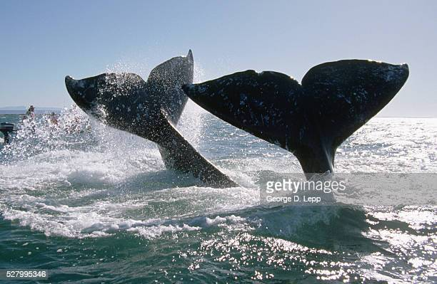 gray whale flukes - pacific ocean stock pictures, royalty-free photos & images