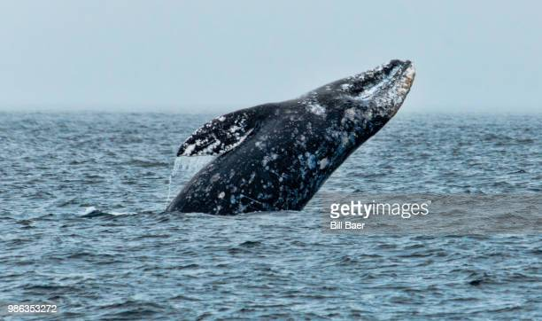 gray whale smile - pacific ocean stock photos and pictures