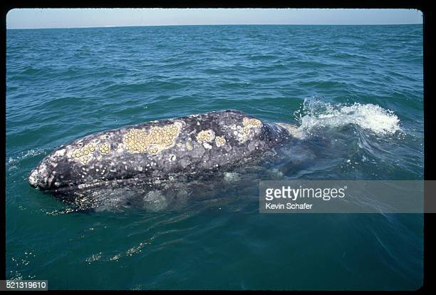 gray whale with barnacles - barnacle stock pictures, royalty-free photos & images