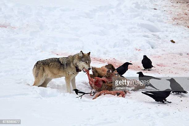 gray wolf (canis lupus) 870f of the junction butte pack at an elk carcass in the winter, yellowstone national park, wyoming, united states of america, north america  - wolf 870f stock pictures, royalty-free photos & images