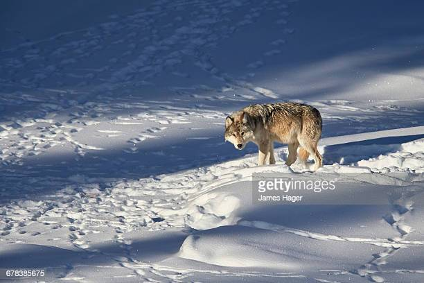 gray wolf (canis lupus) 870f of the junction butte pack in the winter, yellowstone national park, wyoming, united states of america, north america  - wolf 870f stock pictures, royalty-free photos & images