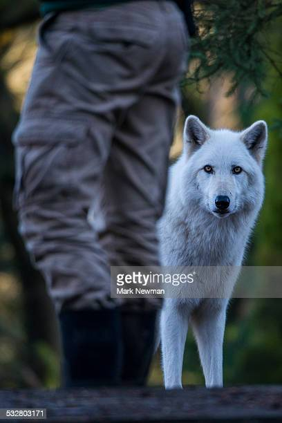 gray wolf and human - loup blanc photos et images de collection