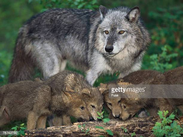 60 Top Pregnant Wolf Pictures Photos And Images Getty Images