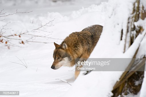 Wolf Germany wolf with prey bavarian forest national park germany stock photo
