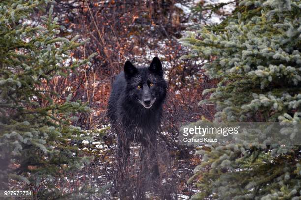 gray wolf (canis lupus), black, direct view, stands between trees in the forest, denali national park, alaska, usa - black wolf stock pictures, royalty-free photos & images